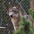 Ein stolzer Wolf