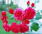"""""""ein Strauch Rosen"""""""