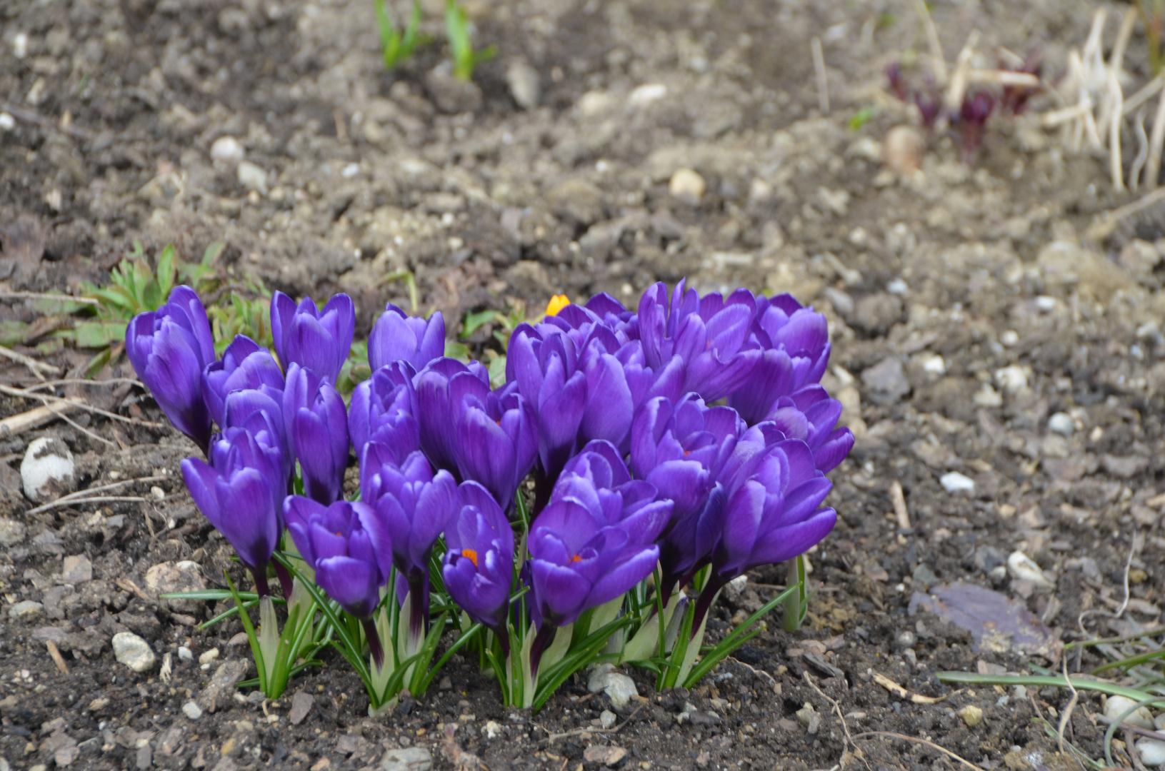 Ein Strauß von lila Krokussen
