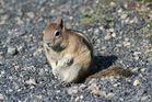 Ein Streifenhörnchen im wilden Amerika ....