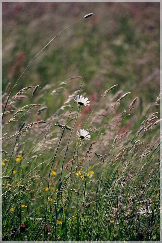 ein Stück Sommerwiese