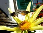 Ein Taubenschwänzchen (Macroglossum stellatarum)