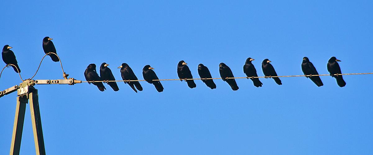 Ein Teil einer großen Tagung der Schwarzen - Saatkrähen - Corvus frugilegus