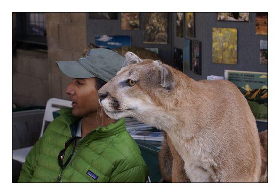 Ein Tier und so viele Namen (Cougar, Mountain Lion, Panther oder Puma)