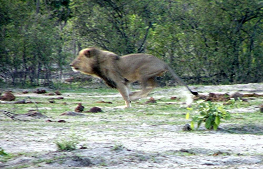 Ein tolles Erlebnis Löwenmann vertreibt Wildhunde aus seinem Revier 1