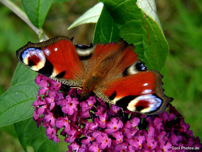 Ein Traum eines Schmetterlings