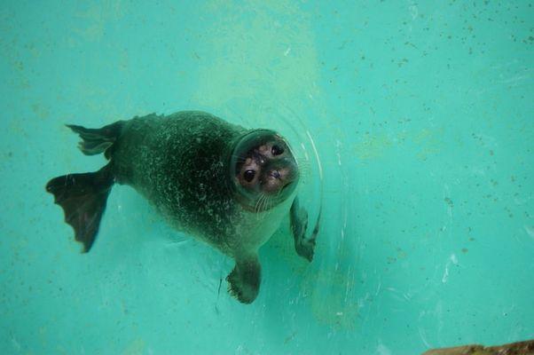 ein trauriges Robbenjungtier