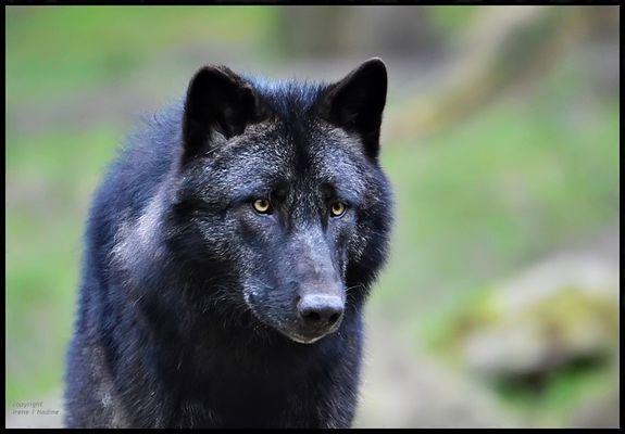 Schwarze Wölfe