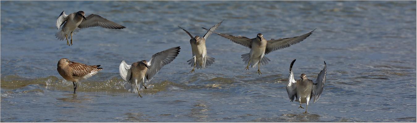 Ein Trupp Knutts setzt zur Landung an   . . .