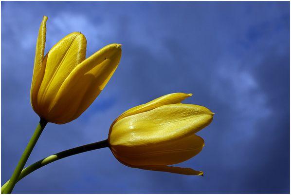Ein Tulpenpaar