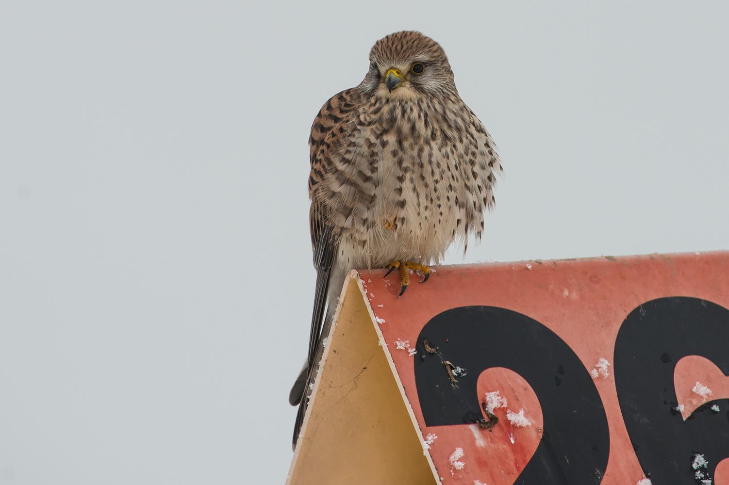 Ein Turmfalken Weibchen  am Straßenrand !