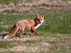 ein überraschter Fuchsrüde