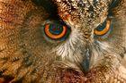 Ein Uhuportrait aus dem Leipziger Tierpark