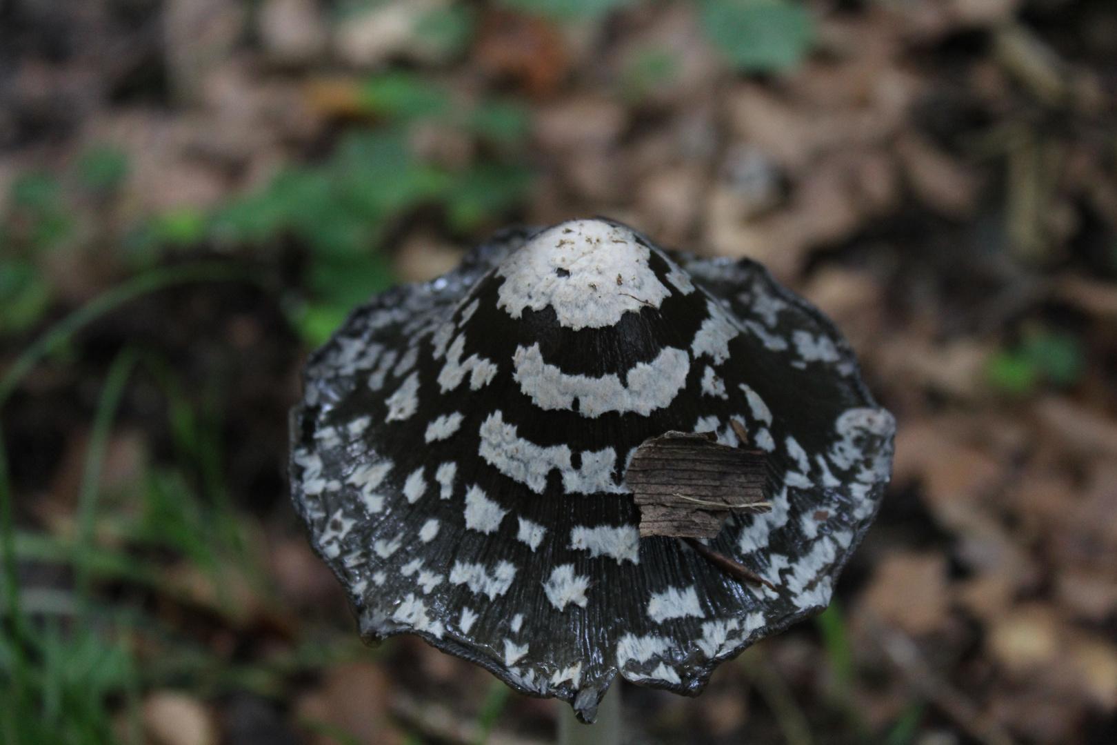 Ein unbekannter Pilz