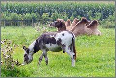 Ein ungewöhnlicher Esel und ein Kamel