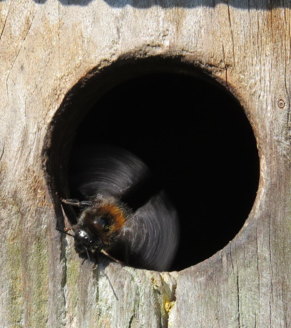 ein ungew hnliches hummelnest foto bild tiere tierdetails insekten bilder auf fotocommunity. Black Bedroom Furniture Sets. Home Design Ideas