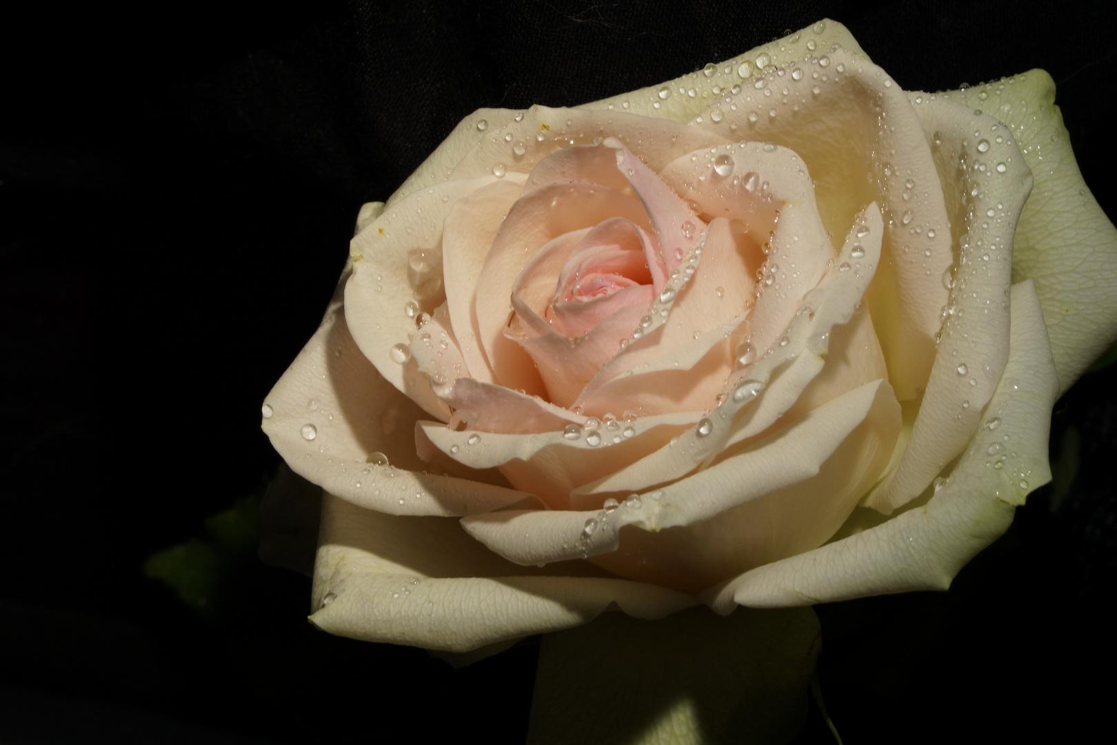 Ein verspielter Rosengruß