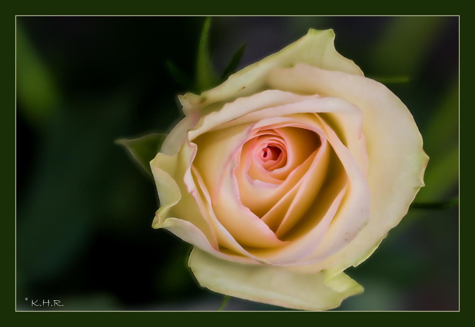 Ein Versuch - Rose