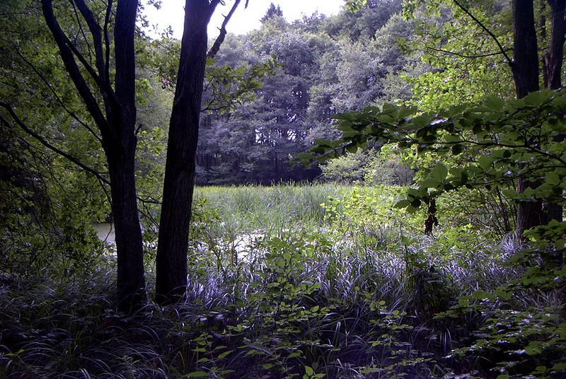 Ein versumpfter Teich im Wald..........