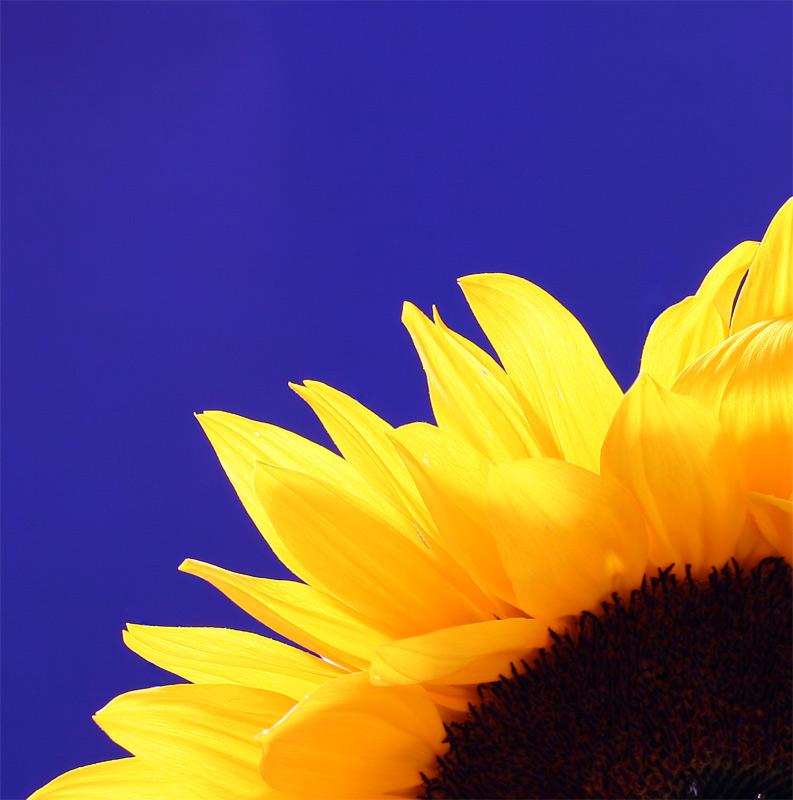 Ein Viertel Sonnenblume