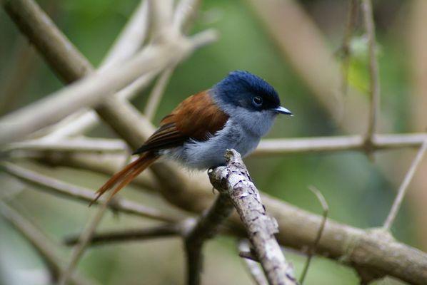 Ein Vogel auf La Reunion