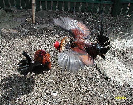Ein Volkssport auf den Philippinen - Cockfighting