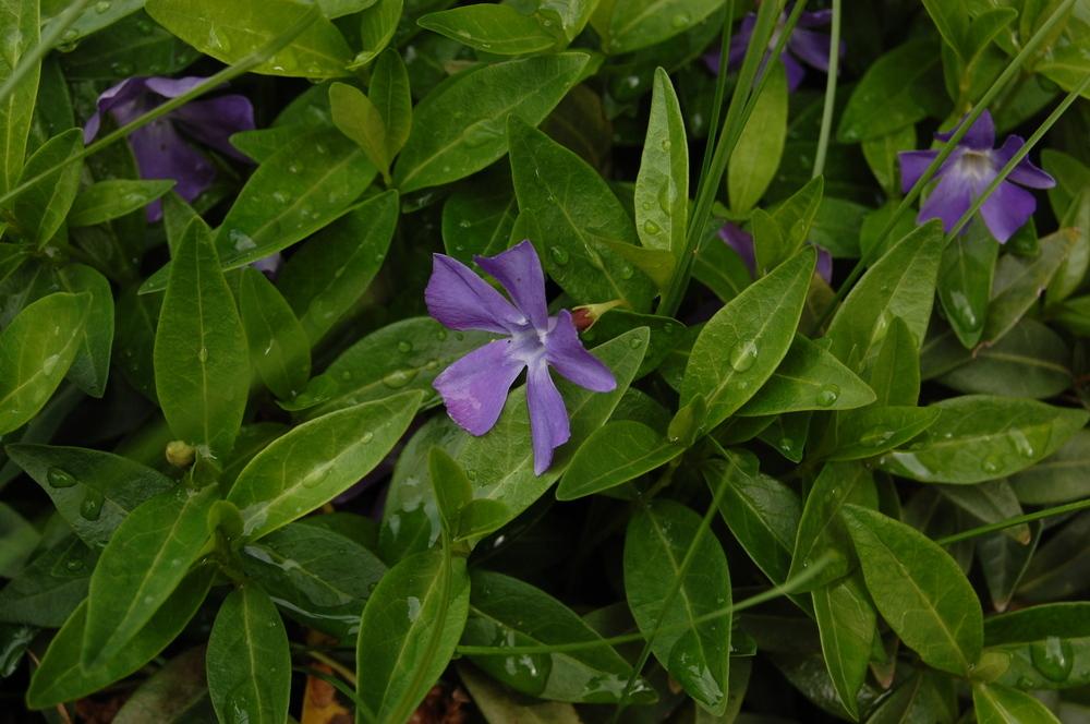 Ein Vorgarten Mauerblümchen