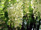 ... ein Vorhang aus Blüten ...