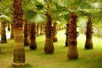 Ein Wald aus Palmen ...
