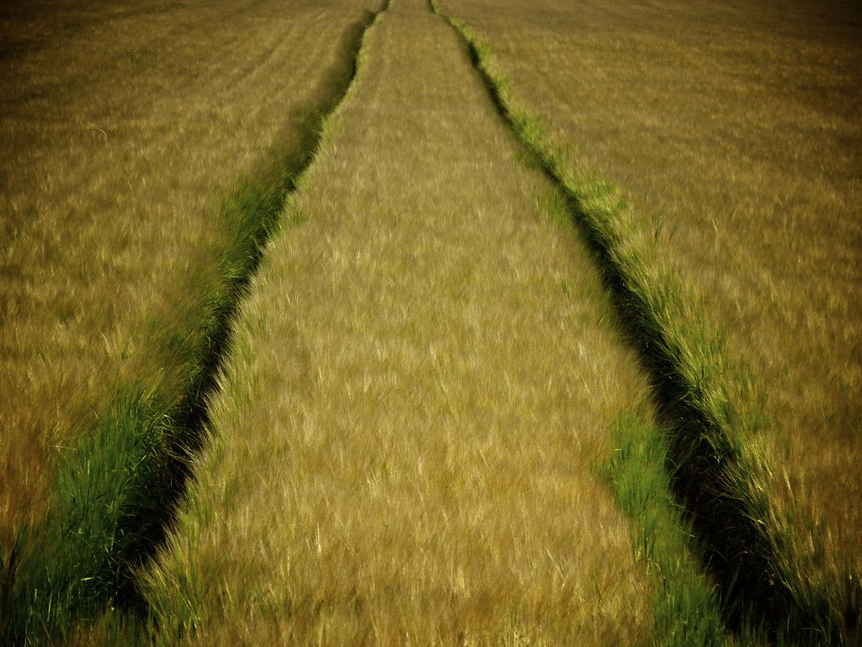 ...ein Weg im Kornfeld.