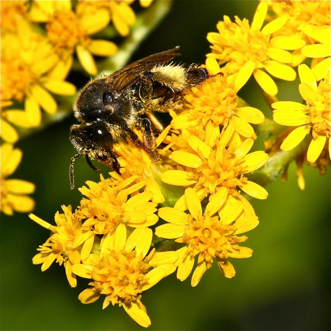Ein Weibchen der 9 mm langen S C H E N K E L BIENE (MACROPIS EUROPAEA)