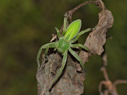 Ein Weibchen der wunderschönen Grünen Huschspinne (Micrommata virescens) von oben