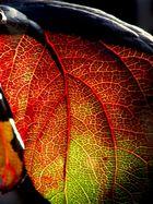 ein Weinblatt -sieht aus wie ein Herzmuskel