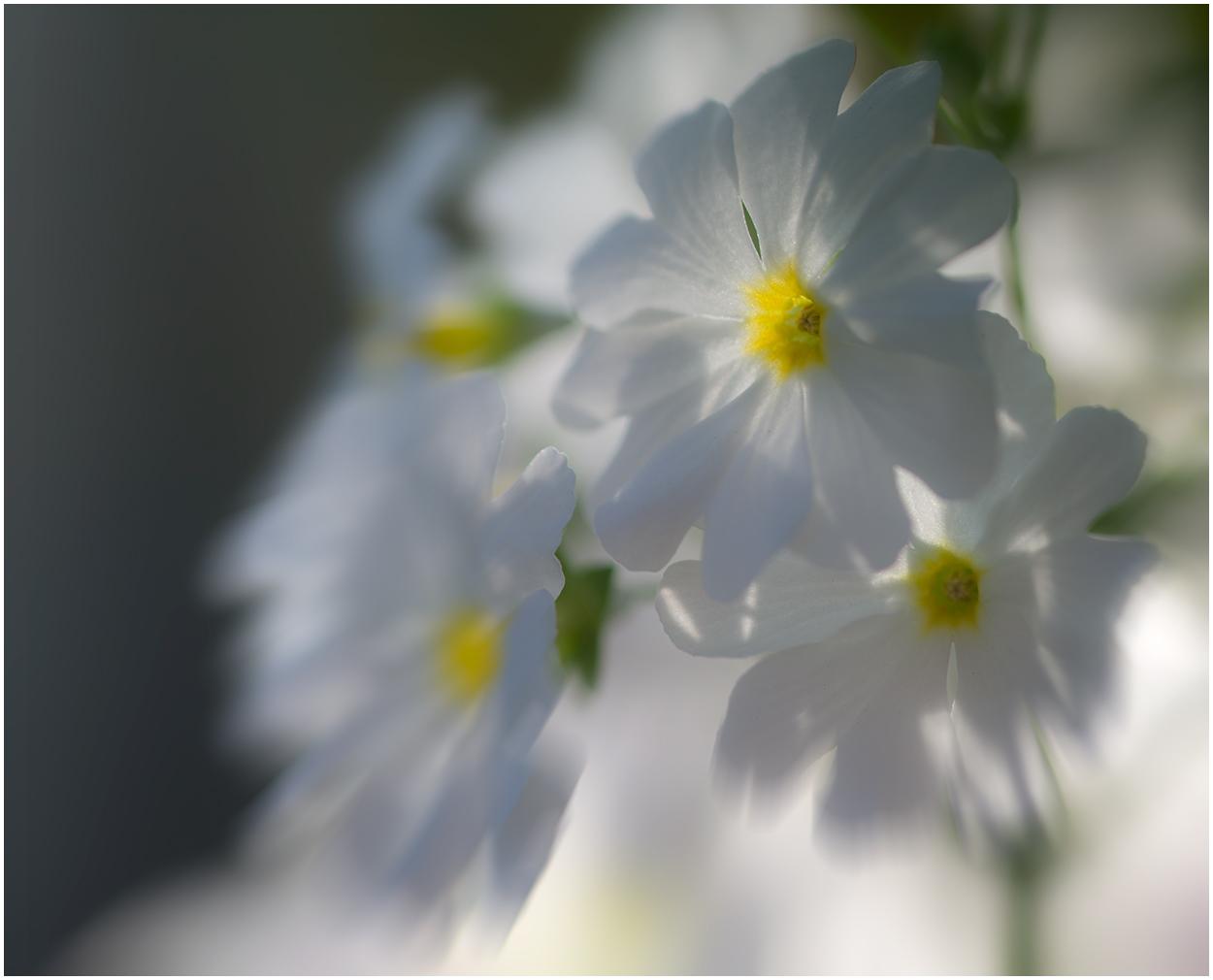 Ein weißer Blütentraum !