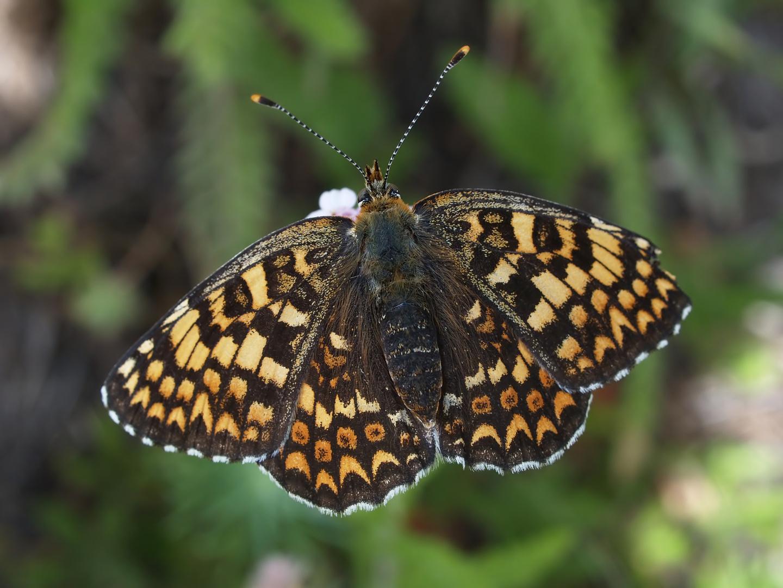 Ein weiterer Scheckenfalter: Melitaea phoebe