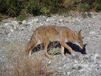 """Ein weiteres """"Mitbringsel"""" aus dem Tal des Todes: Ein Kojote"""