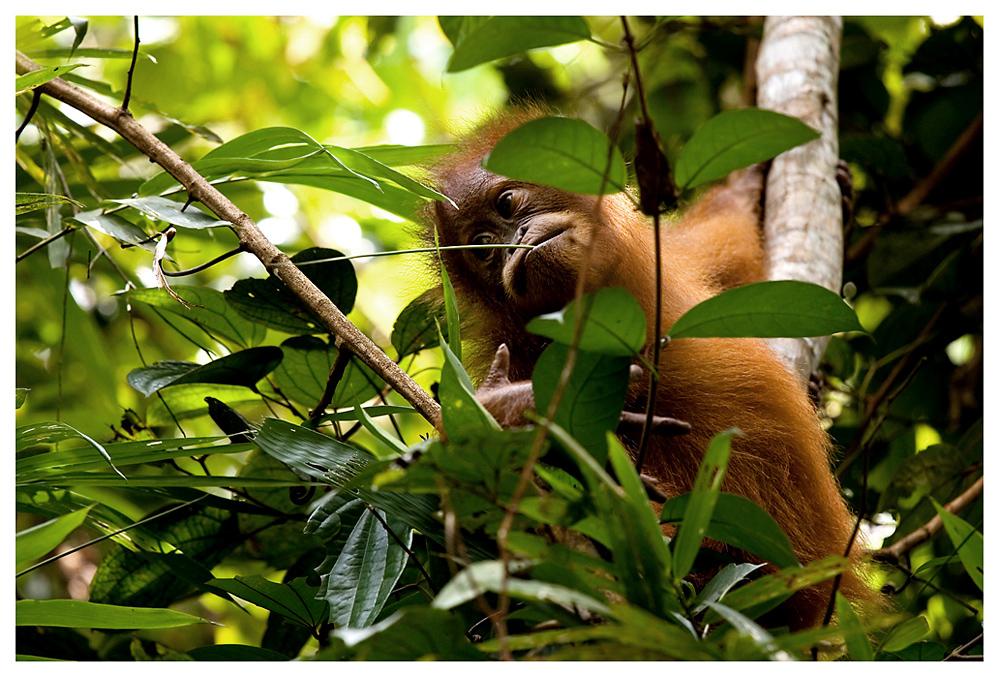 ein wenig gesichtsalt, aber fast noch ein Baby, ist dieser kleine Orang Utan