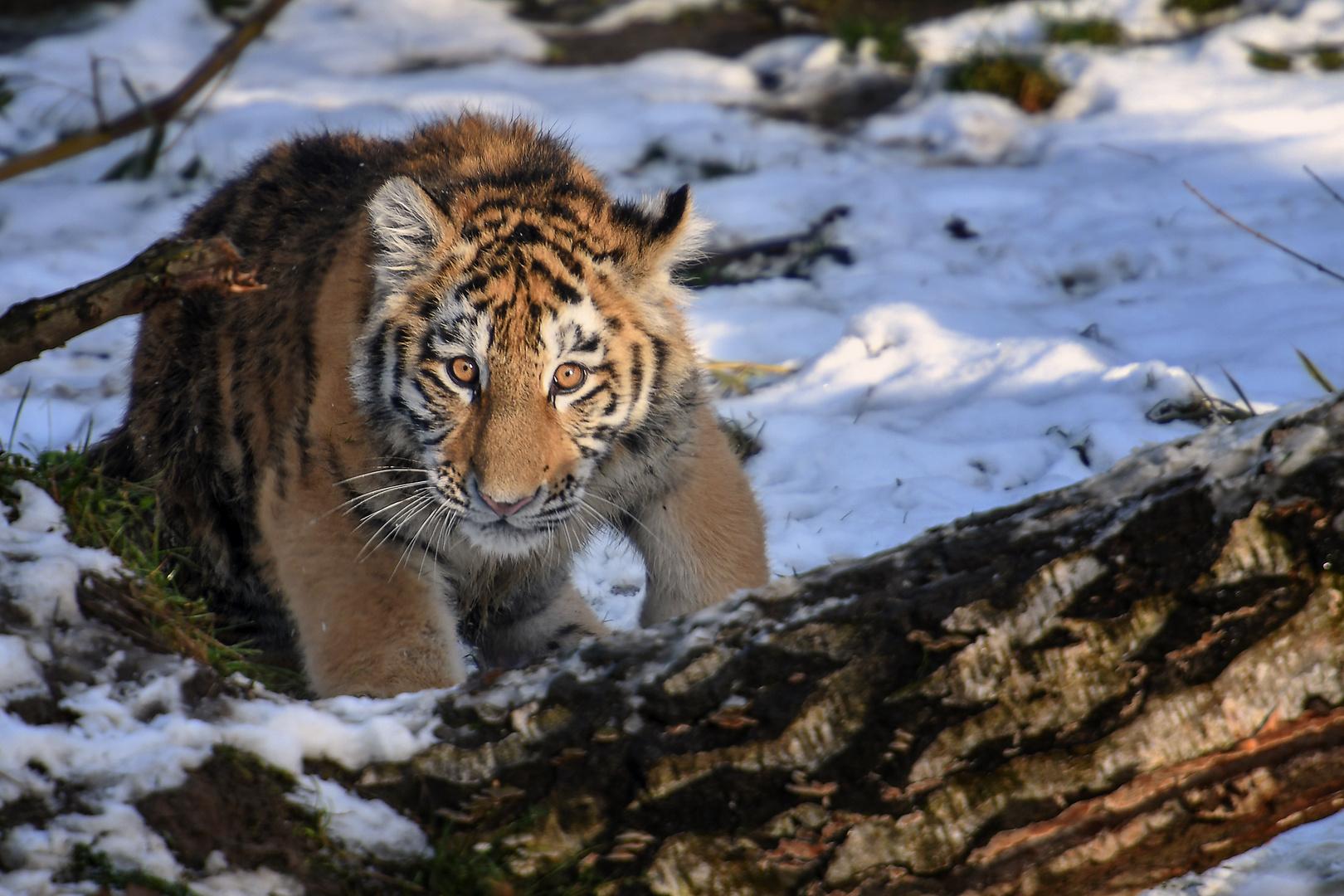 Sibirien Tiere