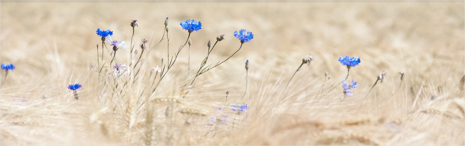 Ein wenig Sommer: Kornblumen wiegen sich im Getreide