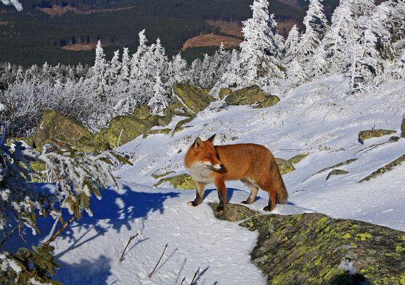 Ein wilder Fuchs auf dem Brocken