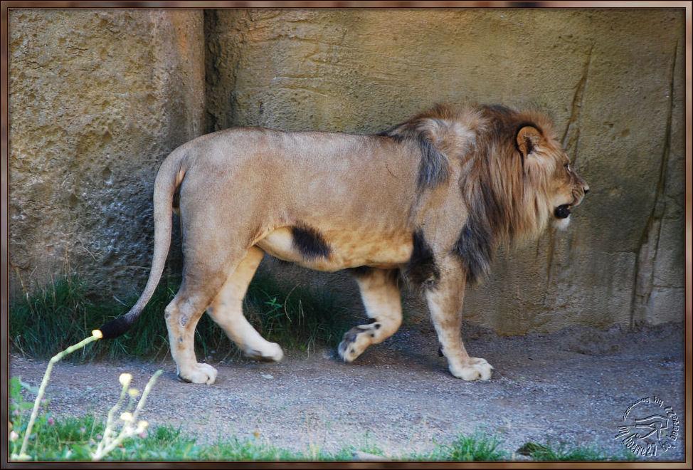 Ein wirklich ärgerlicher Löwe