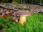 Ein wirklich hübscher Pilz (Marone)