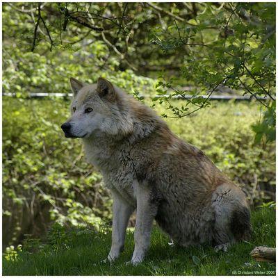 Ein Wölflein steht im Wald . . .