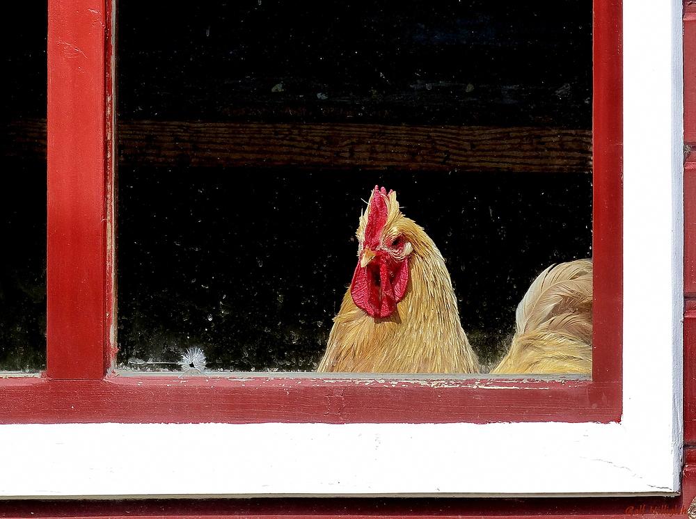 Ein wohl nachdenkliches Huhn
