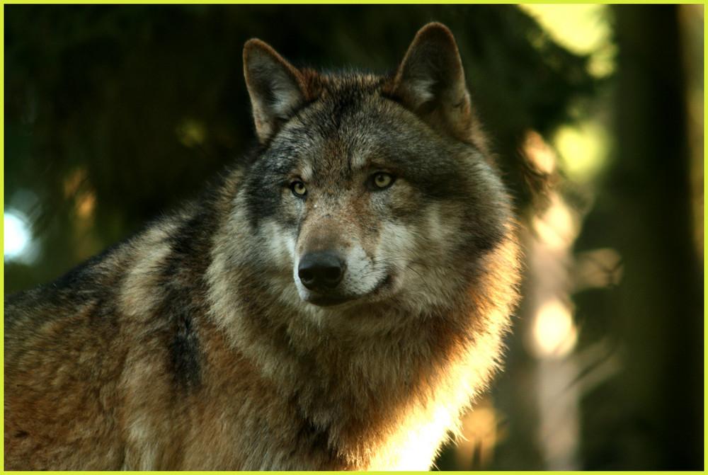 ein Wolf,