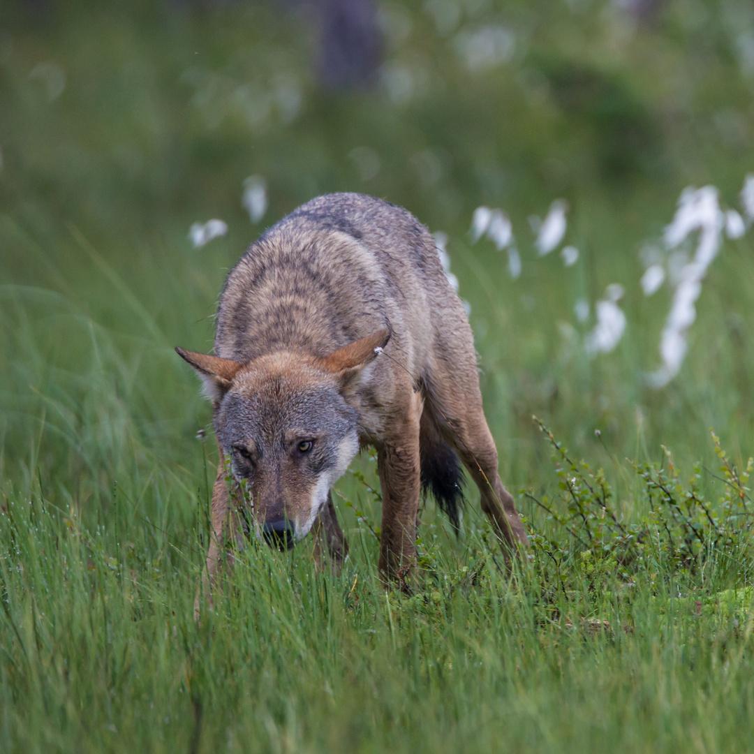 Ein Wolf ist auch nur ein Hund