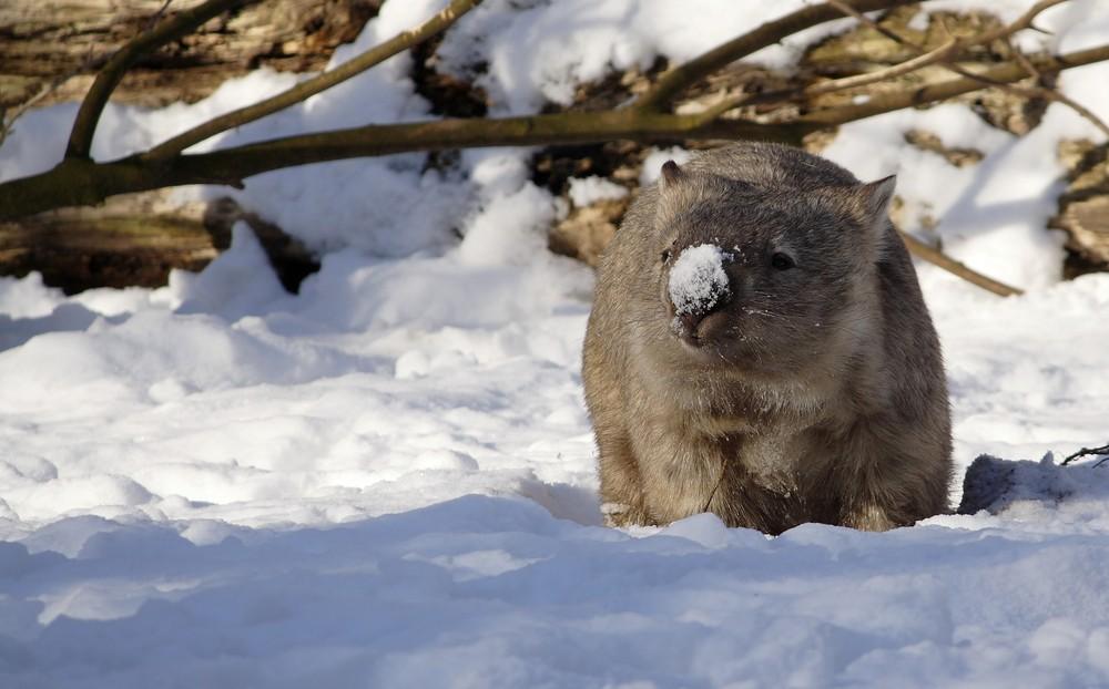ein wombat im schnee foto bild tiere zoo wildpark. Black Bedroom Furniture Sets. Home Design Ideas