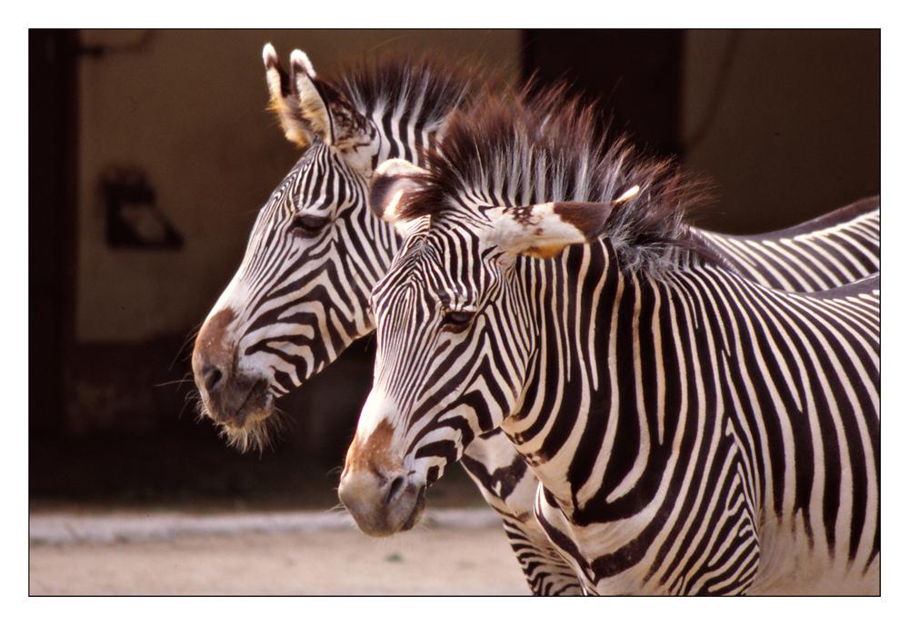 Ein Zebra kommt selten allein ...