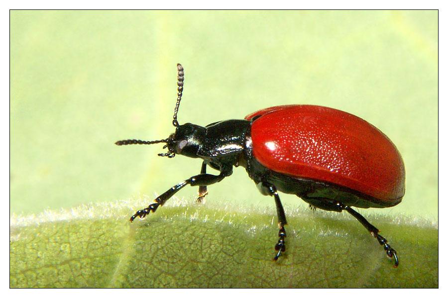 ein ziemlich seltener roter k fer ohne punkte l uft vorbei foto bild tiere wildlife. Black Bedroom Furniture Sets. Home Design Ideas