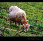 Ein zufriedenes und sorgloses Schaf...